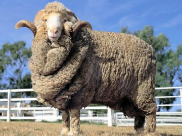 Wonderful qualities of merino wool